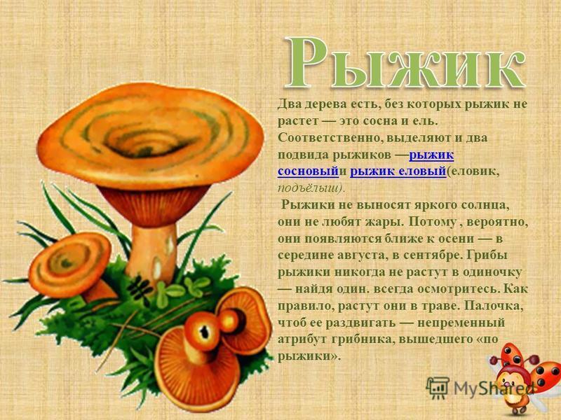 От всех остальных грибов лисички отличаются прежде всего изящной формой плодовых тел. Нежно-желтые складки пластинок причудливо разветвляются до самой земли по суживающейся книзу ножке, края ярких чистых шляпок кажутся гофрированными. Совсем маленьки