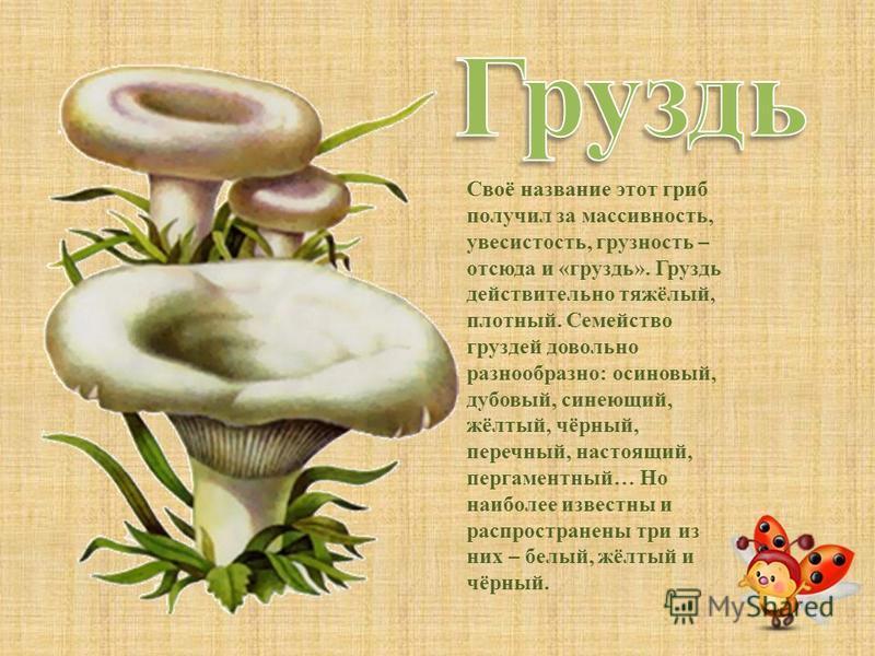 Волнушка розовая - очень распространенный гриб, растущий в березовых и смешанных с березой лесах. Растет она обычно группами, поэтому, найдя одну волнушку, стоит поискать поблизости другие грибы, а может быть, целое семейство. Волнушка розовая крупне