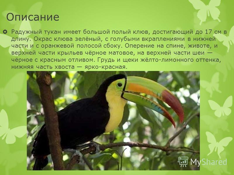 Описание Радужный тукан имеет большой полый клюв, достигающий до 17 см в длину. Окрас клюва зелёный, с голубыми вкраплениями в нижней части и с оранжевой полосой сбоку. Оперение на спине, животе, и верхней части крыльев чёрное матовое, на верхней час