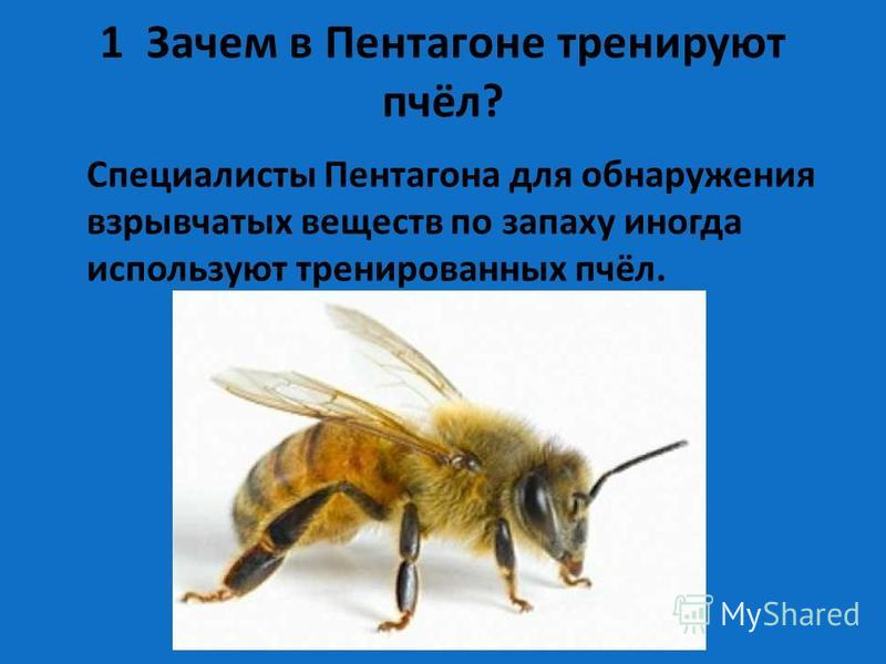 1 Зачем в Пентагоне тренируют пчёл? Специалисты Пентагона для обнаружения взрывчатых веществ по запаху иногда используют тренированных пчёл.