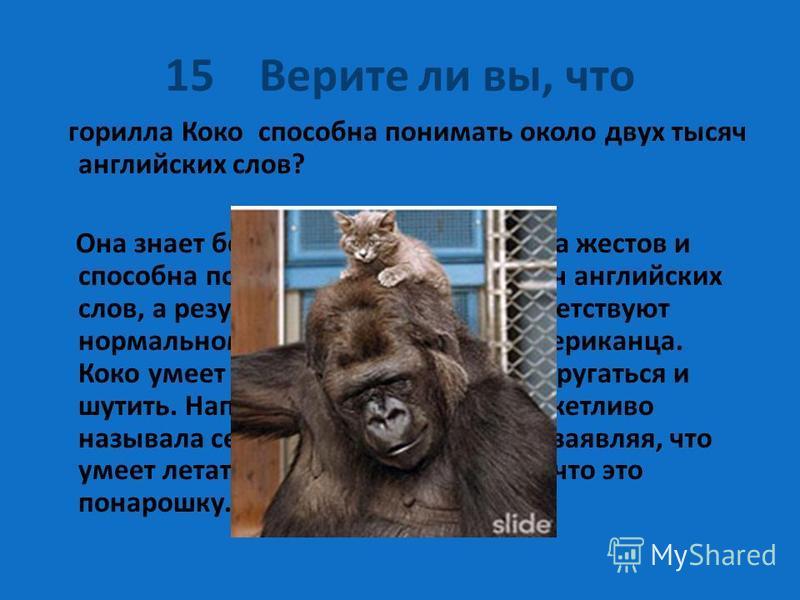 15 Верите ли вы, что горилла Коко способна понимать около двух тысяч английских слов? Она знает более тысячи знаков языка жестов и способна понимать около двух тысяч английских слов, а результаты её iq-тестов соответствуют нормальному уровню взрослог