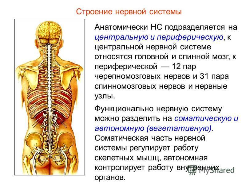 Строение нервной системы Анатомически НС подразделяется на центральную и периферическую, к центральной нервной системе относятся головной и спинной мозг, к периферической 12 пар черепно-мозговых нервов и 31 пара спинномозговых нервов и нервные узлы.