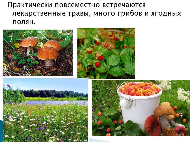Практически повсеместно встречаются лекарственные травы, много грибов и ягодных полян.
