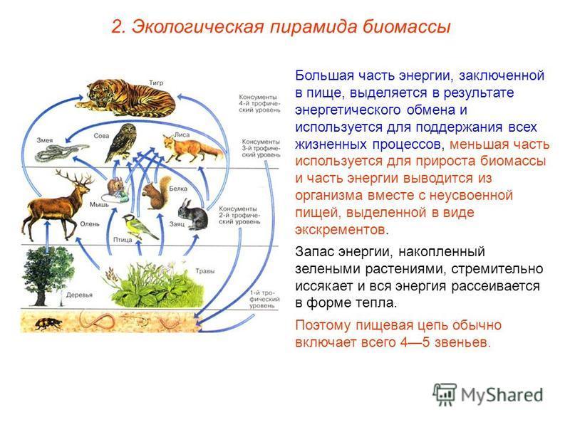 2. Экологическая пирамида биомассы Большая часть энергии, заключенной в пище, выделяется в результате энергетического обмена и используется для поддержания всех жизненных процессов, меньшая часть используется для прироста биомассы и часть энергии выв