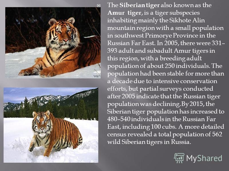 The Siberian tiger also known as the Amur tiger, is a tiger subspecies inhabiting mainly the Sikhote Alin mountain region with a small population in southwest Primorye Province in the Russian Far East. In 2005, there were 331– 393 adult and subadult