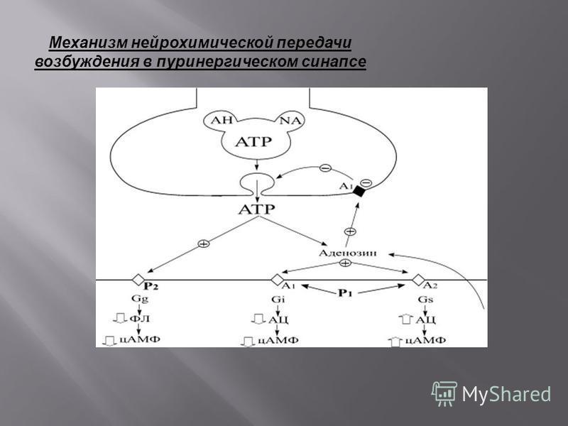 Механизм нейрохимической передачи возбуждения в пуринергическом синапсе