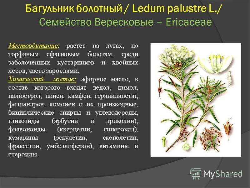 Багульник болотный / Ledum palustre L./ Семейство Вересковые – Ericaceae Местообитание: растет на лугах, по торфяным сфагновым болотам, среди заболоченных кустарников и хвойных лесов, часто зарослями. Химический состав: эфирное масло, в состав которо