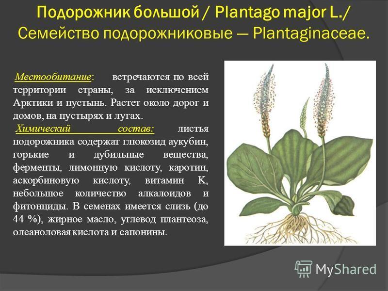 Подорожник большой / Plantago major L./ Семейство подорожниковые Plantaginaceae. Местообитание: встречаются по всей территории страны, за исключением Арктики и пустынь. Растет около дорог и домов, на пустырях и лугах. Химический состав: листья подоро