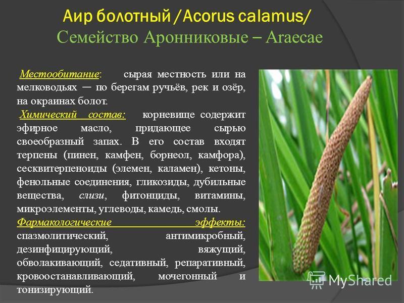 Аир болотный /Acorus calamus/ Семейство Аронниковые – Araecae Местообитание: сырая местность или на мелководьях по берегам ручьёв, рек и озёр, на окраинах болот. Химический состав: корневище содержит эфирное масло, придающее сырью своеобразный запах.