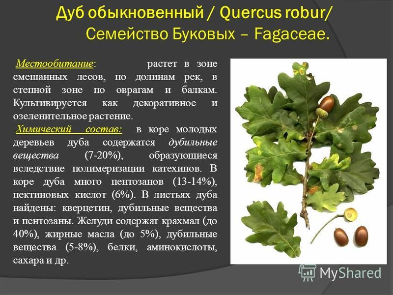 Дуб обыкновенный / Quercus robur/ Семейство Буковых – Fagaceae. Местообитание: растет в зоне смешанных лесов, по долинам рек, в степной зоне по оврагам и балкам. Культивируется как декоративное и озеленительное растение. Химический состав: в коре мол