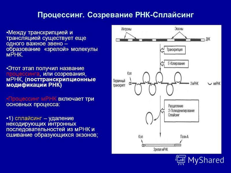 Процессинг. Созревание РНК-Сплайсинг Между транскрипцией и трансляцией существует еще одного важное звено – образование «зрелой» молекулы мРНК. Этот этап получил название процессинга, или созревания, мРНК, (посттранскрипционные модификации РНК) Проце