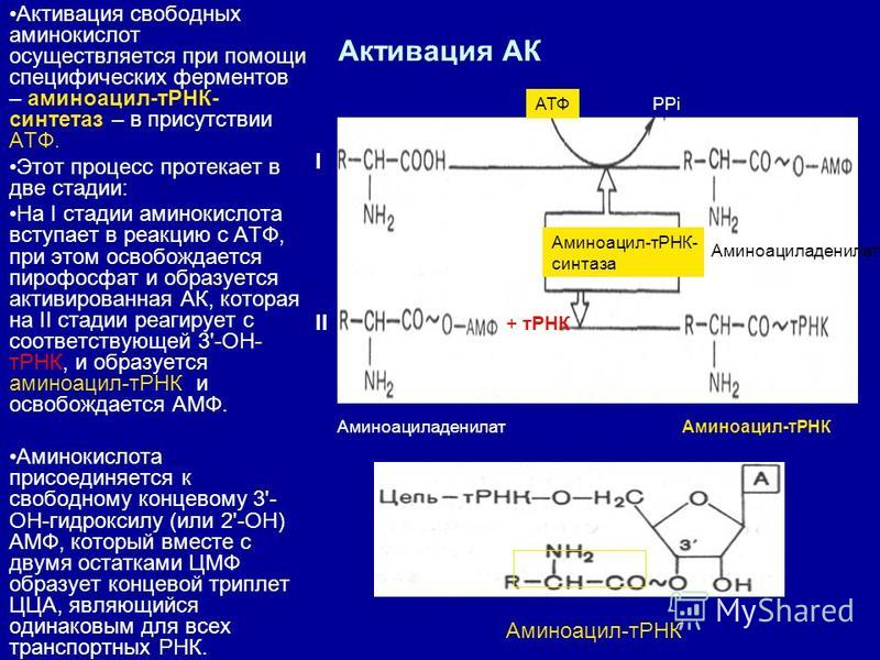 Активация АК Активация свободных аминокислот осуществляется при помощи специфических ферментов – аминоацил-тРНК- синтетаз – в присутствии АТФ. Этот процесс протекает в две стадии: На I стадии аминокислота вступает в реакцию с АТФ, при этом освобождае