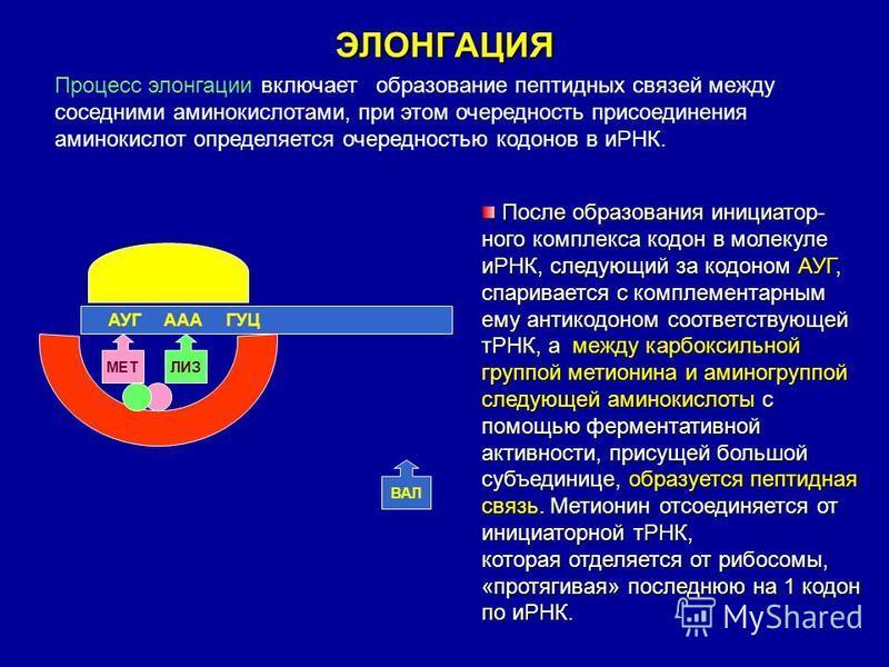 ЭЛОНГАЦИЯ Процесс элонгации включает образование пептидных связей между соседними аминокислотами, при этом очередность присоединения аминокислот определяется очередностью кодонов в иРНК. АУГ ААА ГУЦ ВАЛ МЕТ ЛИЗ После образования инициатор- ного компл