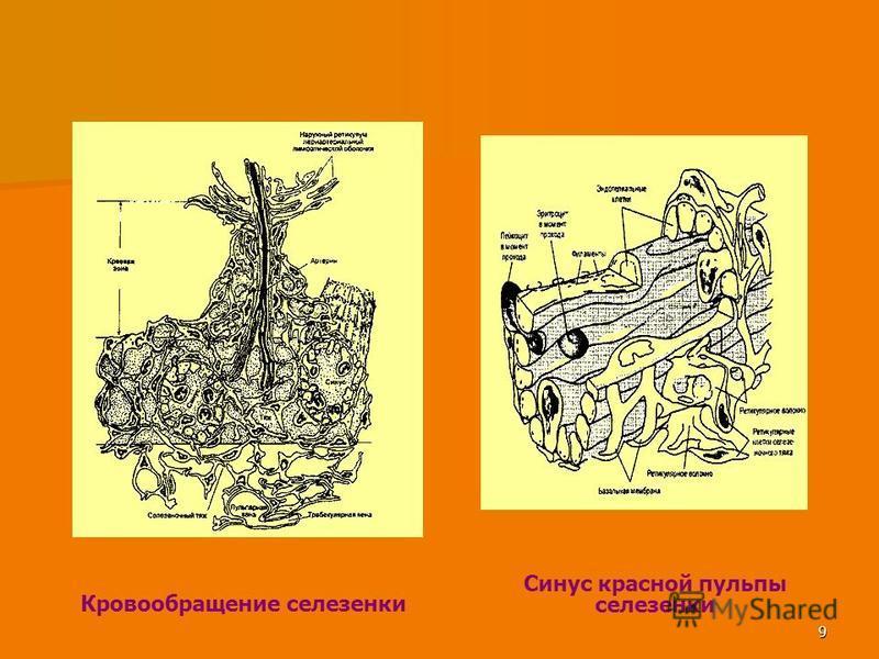 9 Кровообращение селезенки Синус красной пульпы селезенки