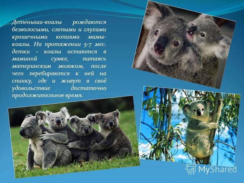 Детеныши-коалы рождаются безволосыми, слепыми и глухими крошечными копиями мамы- коалы. На протяжении 5-7 мес. детки - коалы остаются в маминой сумке, питаясь материнским молоком, после чего перебираются к ней на спинку, где и живут в своё удовольств