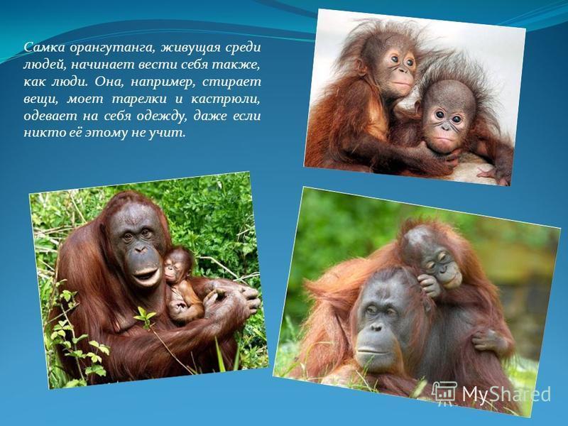 Самка орангутанга, живущая среди людей, начинает вести себя также, как люди. Она, например, стирает вещи, моет тарелки и кастрюли, одевает на себя одежду, даже если никто её этому не учит.