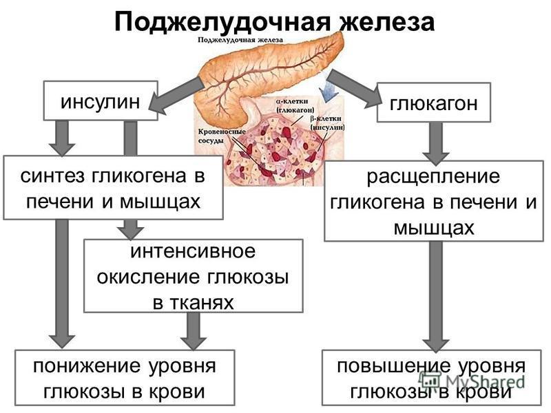 расщепление гликогена в печени и мышцах интенсивное окисление глюкозы в тканях глюкагон повышение уровня глюкозы в крови инсулин синтез гликогена в печени и мышцах понижение уровня глюкозы в крови Поджелудочная железа