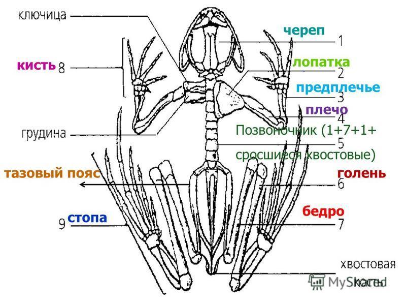 кисть череп лопатка предплечье плечо Позвоночник (1+7+1+ сросшиеся хвостовые) голень бедро стопа тазовый пояс