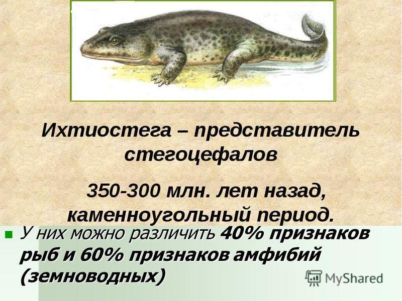 У них можно различить 40% признаков рыб и 60% признаков амфибий (земноводных) У них можно различить 40% признаков рыб и 60% признаков амфибий (земноводных)