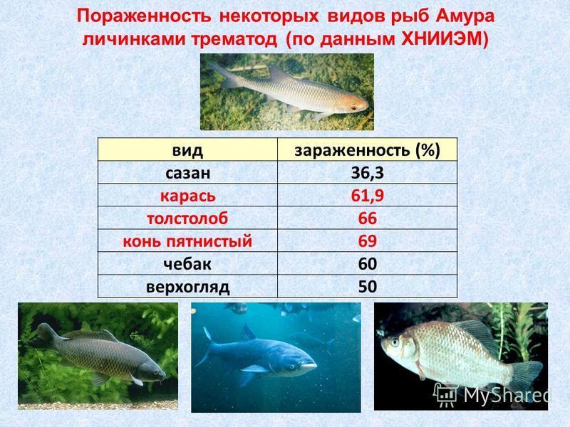 Пораженность некоторых видов рыб Амура личинками трематод (по данным ХНИИЭМ) вид зараженность (%) сазан 36,3 карась 61,9 толстолоб 66 конь пятнистый 69 чебак 60 верхогляд 50