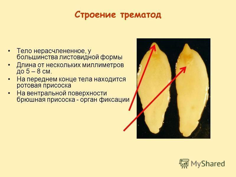 Строение трематод Тело нерасчлененное, у большинства листовидной формы Длина от нескольких миллиметров до 5 – 8 см. На переднем конце тела находится ротовая присоска На вентральной поверхности брюшная присоска - орган фиксации