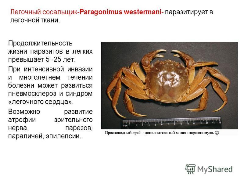 Легочный сосальщик-Paragonimus westermani- паразитирует в легочной ткани. Продолжительность жизни паразитов в легких превышает 5 -25 лет. При интенсивной инвазии и многолетнем течении болезни может развиться пневмосклероз и синдром «легочного сердца»