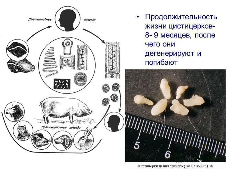 Продолжительность жизни цистицерков- 8- 9 месяцев, после чего они дегенерируют и погибают