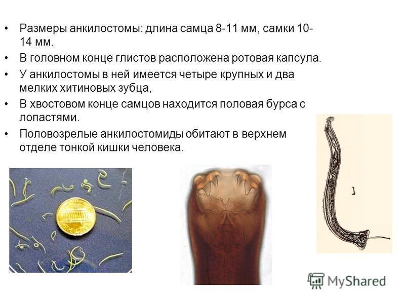Размеры анкилостомы: длина самца 8-11 мм, самки 10- 14 мм. В головном конце глистов расположена ротовая капсула. У анкилостомы в ней имеется четыре крупных и два мелких хитиновых зубца, В хвостовом конце самцов находится половая бурса с лопастями. По