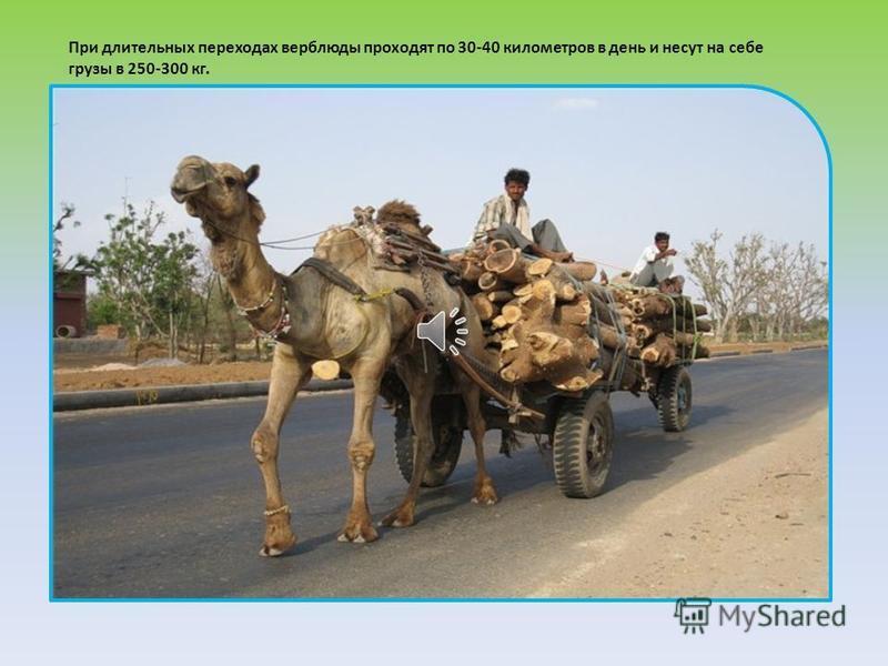 Верблюды терпеливо перенося жажду, суховеи и могут более двух недель обходиться без еды.
