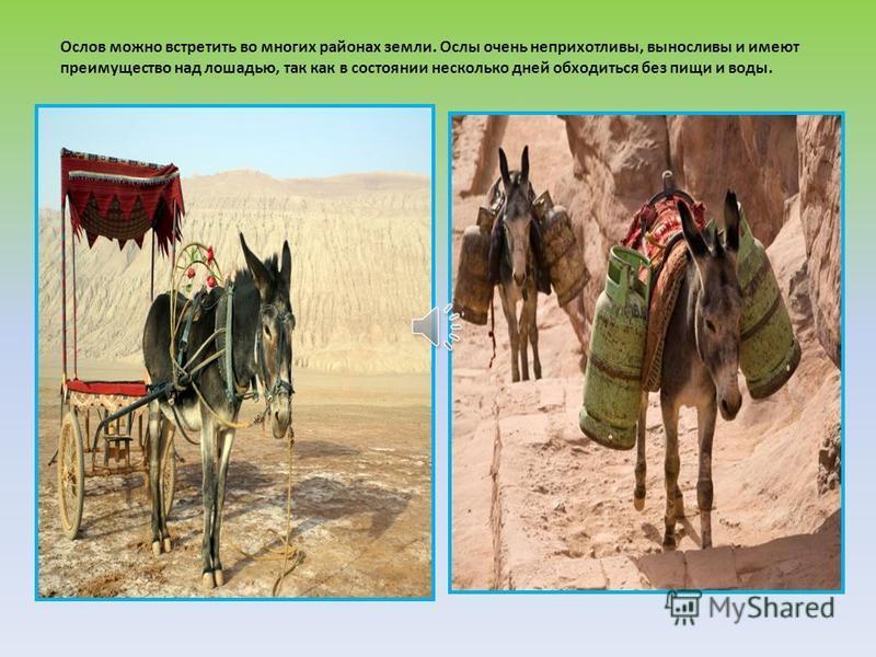 При длительных переходах верблюды проходят по 30-40 километров в день и несут на себе грузы в 250-300 кг.