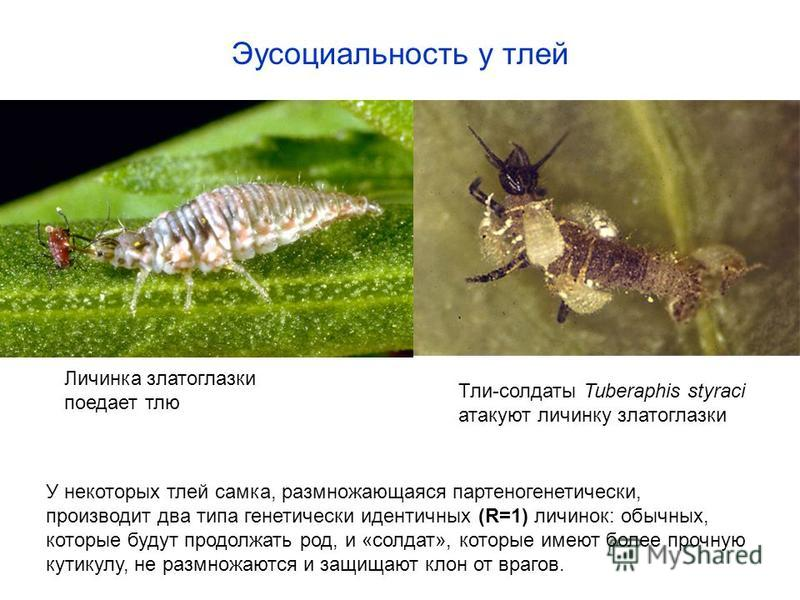 Эусоциальность у тлей Личинка златоглазки поедает тлю Тли-солдаты Tuberaphis styraci атакуют личинку златоглазки У некоторых тлей самка, размножающаяся партеногенетически, производит два типа генетически идентичных (R=1) личинок: обычных, которые буд