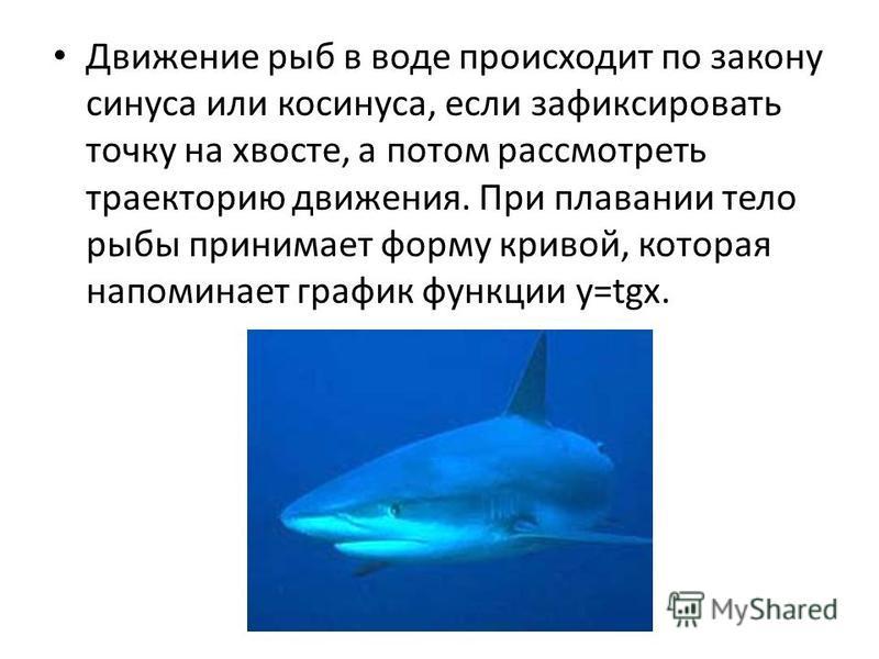 Движение рыб в воде происходит по закону синуса или косинуса, если зафиксировать точку на хвосте, а потом рассмотреть траекторию движения. При плавании тело рыбы принимает форму кривой, которая напоминает график функции y=tgx.