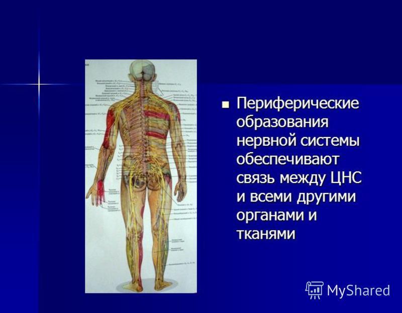 Периферические образования нервной системы обеспечивают связь между ЦНС и всеми другими органами и тканями Периферические образования нервной системы обеспечивают связь между ЦНС и всеми другими органами и тканями