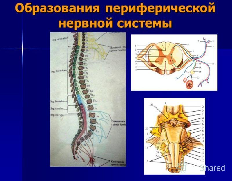 Образования периферической нервной системы