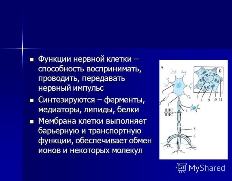 Функции нервной клетки – способность воспринимать, проводить, передавать нервный импульс Функции нервной клетки – способность воспринимать, проводить, передавать нервный импульс Синтезируются – ферменты, медиаторы, липиды, белки Синтезируются – ферме