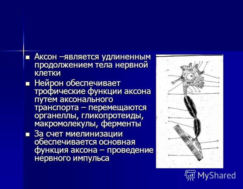 Аксон –является удлиненным продолжением тела нервной клетки Аксон –является удлиненным продолжением тела нервной клетки Нейрон обеспечивает трофические функции аксона путем аксонального транспорта – перемещаются органеллы, гликопротеиды, макромолекул
