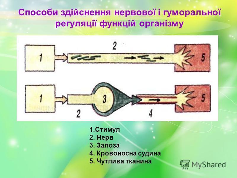 Способи здійснення нервової і гуморальної регуляції функцій організму 1.Стимул 2. Нерв 3. Залоза 4. Кровоносна судина 5. Чутлива тканина