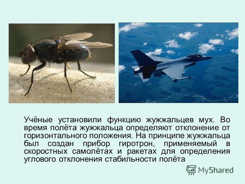 Учёные установили функцию жужжальцев мух. Во время полёта жужжальца определяют отклонение от горизонтального положения. На принципе жужжальца был создан прибор гиротрон, применяемый в скоростных самолётах и ракетах для определения углового отклонения