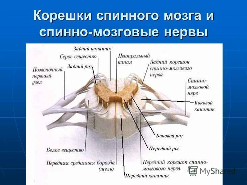 Корешки спинного мозга и спинно-мозговые нервы