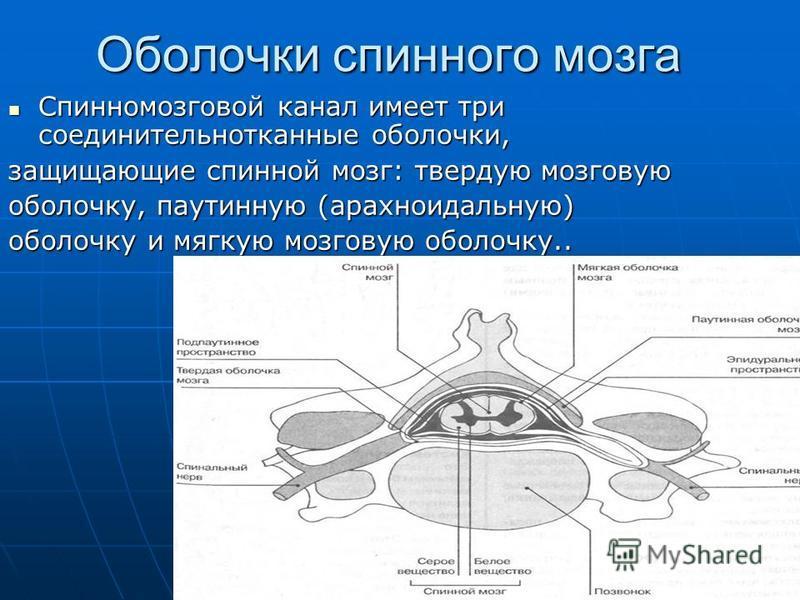 Оболочки спинного мозга Спинномозговой канал имеет три соединительнотканные оболочки, Спинномозговой канал имеет три соединительнотканные оболочки, защищающие спинной мозг: твердую мозговую оболочку, паутинную (арахноидальную) оболочку и мягкую мозго