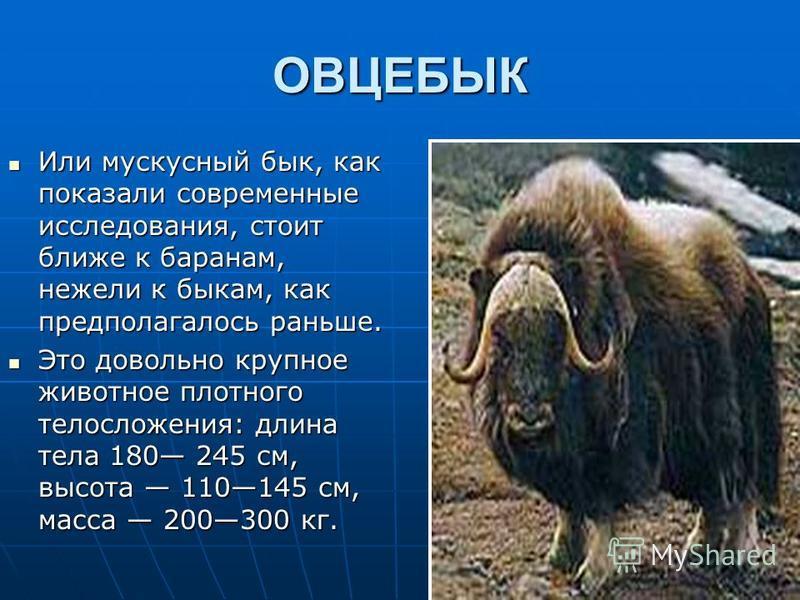 ОВЦЕБЫК Или мускусный бык, как показали современные исследования, стоит ближе к баранам, нежели к быкам, как предполагалось раньше. Или мускусный бык, как показали современные исследования, стоит ближе к баранам, нежели к быкам, как предполагалось ра