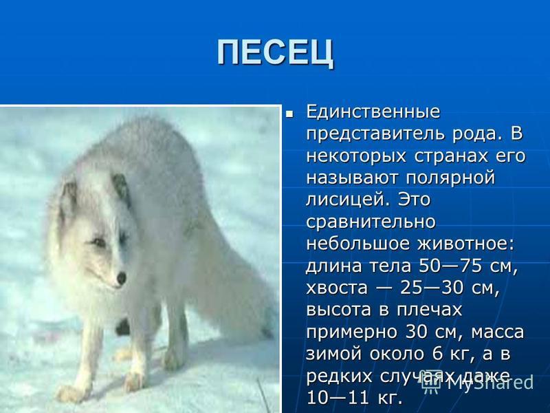 ПЕСЕЦ Единственные представитель рода. В некоторых странах его называют полярной лисицей. Это сравнительно небольшое животное: длина тела 5075 см, хвоста 2530 см, высота в плечах примерно 30 см, масса зимой около 6 кг, а в редких случаях даже 1011 кг