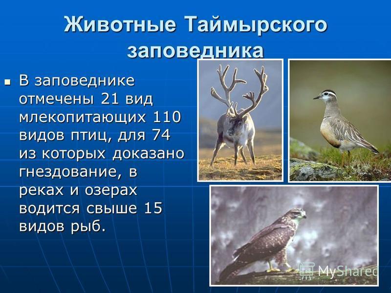 Животные Таймырского заповедника В заповеднике отмечены 21 вид млекопитающих 110 видов птиц, для 74 из которых доказано гнездование, в реках и озерах водится свыше 15 видов рыб. В заповеднике отмечены 21 вид млекопитающих 110 видов птиц, для 74 из ко