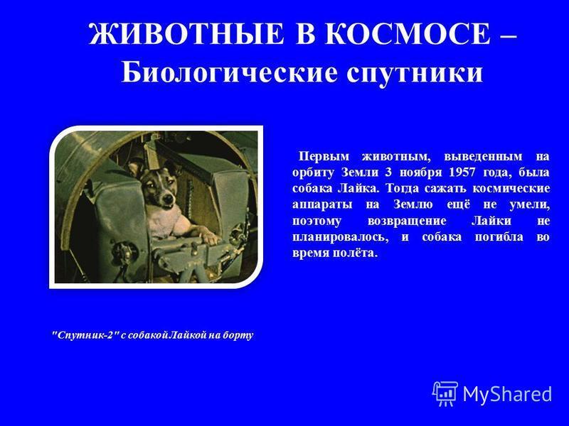 ЖИВОТНЫЕ В КОСМОСЕ – Биологические спутники Первым животным, выведенным на орбиту Земли 3 ноября 1957 года, была собака Лайка. Тогда сажать космические аппараты на Землю ещё не умели, поэтому возвращение Лайки не планировалось, и собака погибла во вр