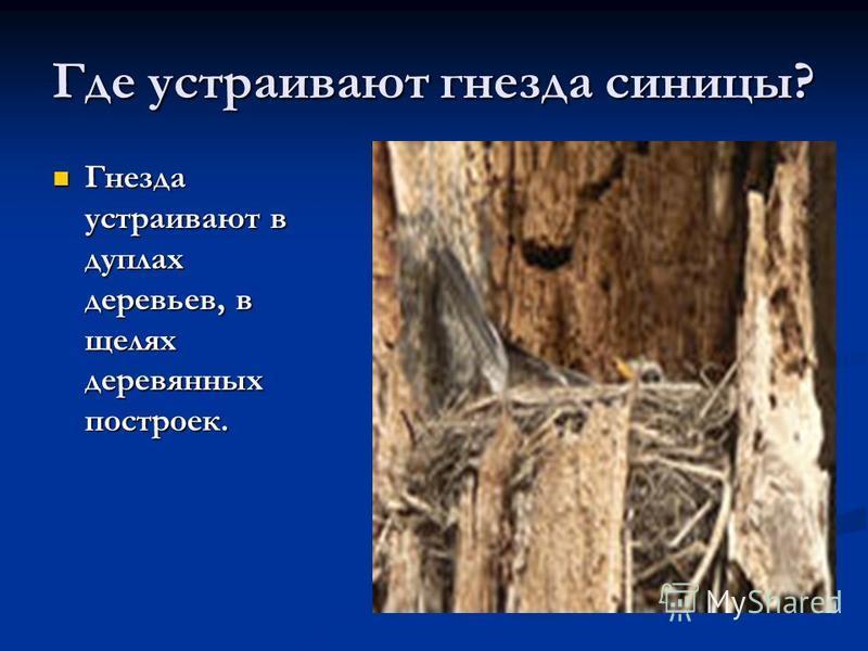 Где устраивают гнезда синицы? Гнезда устраивают в дуплах деревьев, в щелях деревянных построек. Гнезда устраивают в дуплах деревьев, в щелях деревянных построек. Гнездо с птенцами