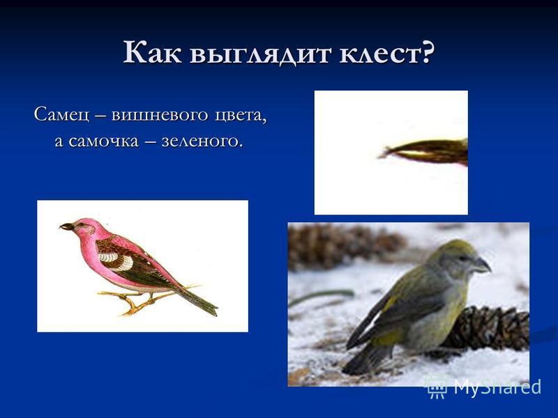 Как выглядит клест? Самец – вишневого цвета, а самочка – зеленого.