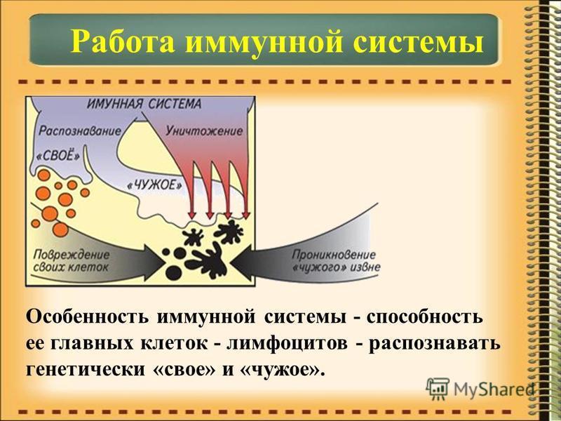 Работа иммунной системы Особенность иммунной системы - способность ее главных клеток - лимфоцитов - распознавать генетически «свое» и «чужое».