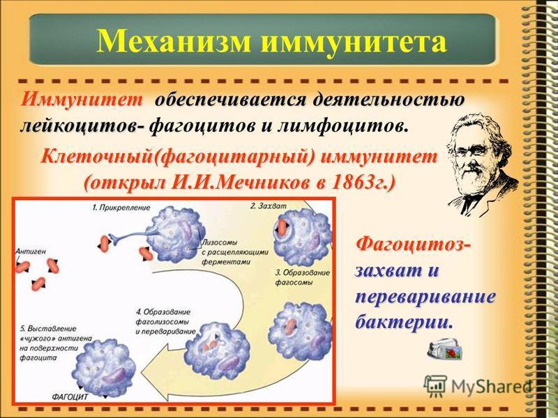 Иммунитет обеспечивается деятельностью лейкоцитов- фагоцитов и лимфоцитов. Механизм иммунитета Клеточный(фагоцитарный) иммунитет (открыл И.И.Мечников в 1863 г.) Фагоцитоз- захват и переваривание бактерии.