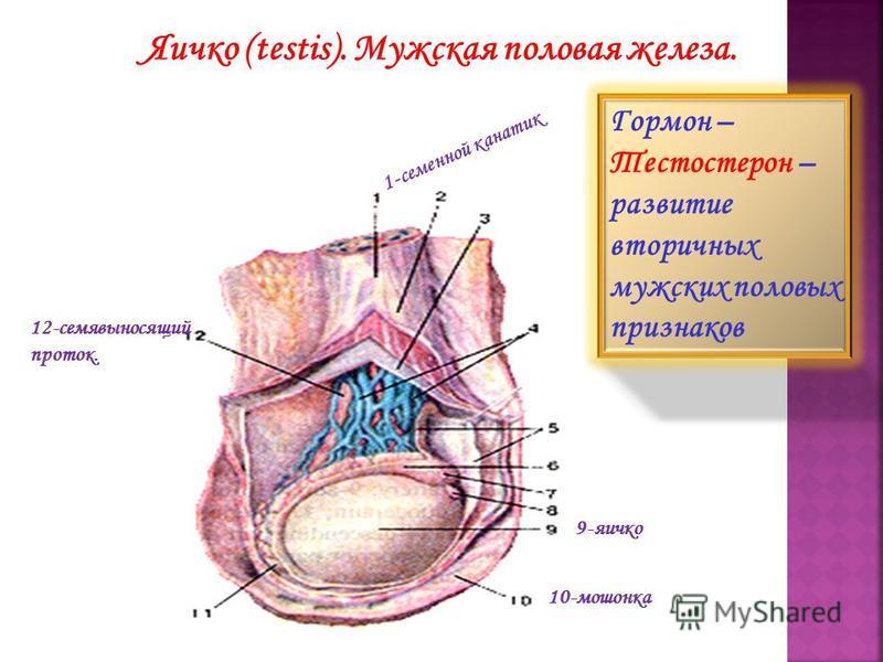 superior part of duodenum; 16-superior pancreaduodenal artery; 17-pyloric part of stomach; 18-inferior vena cava; 19-aorta. Яичко (testis). Мужская половая железа. 1 - семенной к а н а т и к 12-семявыносящий проток. 9-яичко 10-мошонка Гормон – Тестос