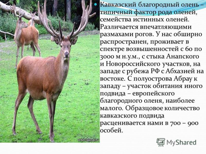 Кавказский благородный олень – типичный фактор рода оленей, семейства истинных оленей. Различается впечатляющими размахами рогов. У нас обширно распространен, проживает в спектре возвышенностей с 60 по 3000 м н.у.м., с стыка Анапского и Новороссийско